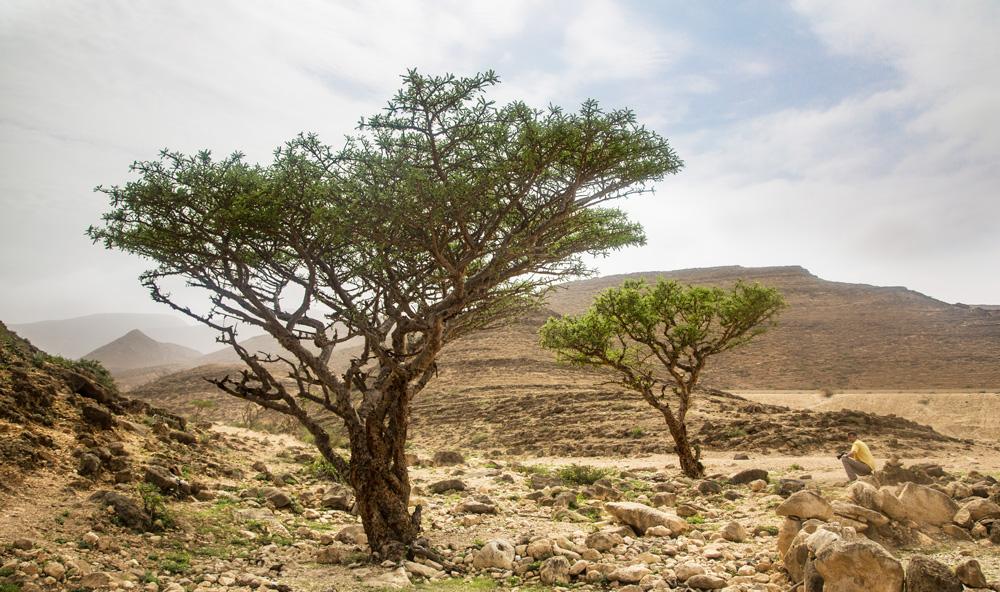weihrauch-olibanum-tree-weihrauchbaum-weihrauchstrauch